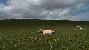 Bovines ou la vraie vie des vaches